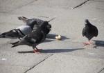 パンをめぐって競い合う四羽のハトたち