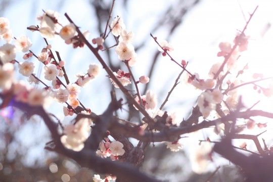 やわらかな光に包まれる梅の花