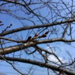 青空と春のおとずれを待つさくらのつぼみ