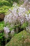 土手に咲く長藤