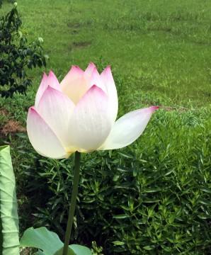 畑のなかの一輪の蓮の花