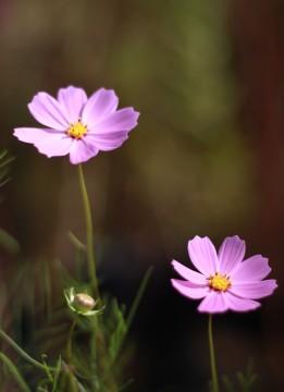 並んで咲くコスモスの花