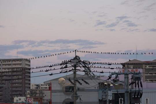 電線を埋め尽くすムクドリの群れ