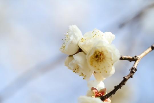 白いウメの花3